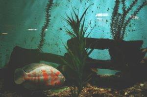 submersed plants