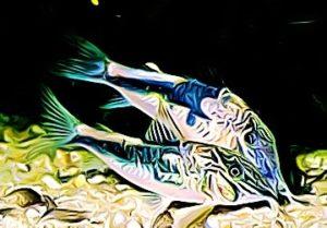 Corydoras coriatae