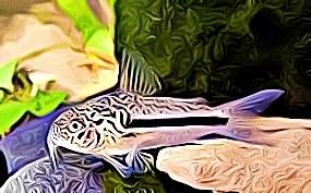 Corydoras Coppenamensis