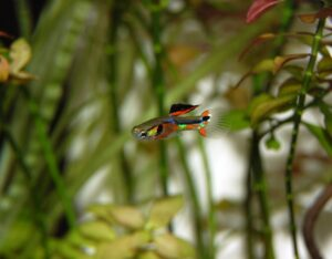 why do guppies give birth to dead fry