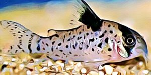 Corydoras Leucomelas