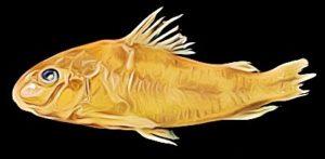 Corydoras Microcephalus