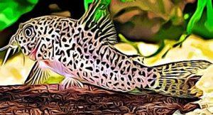 Corydoras Multimaculatus
