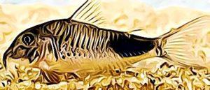 Corydoras Ourastigma