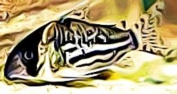 Corydoras Schwartzi