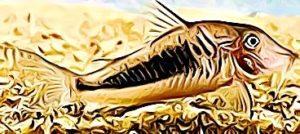 Corydoras Solox