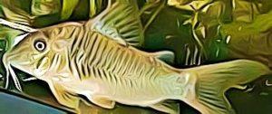 Corydoras Stenocephalus