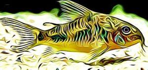 Corydoras Amphibelus