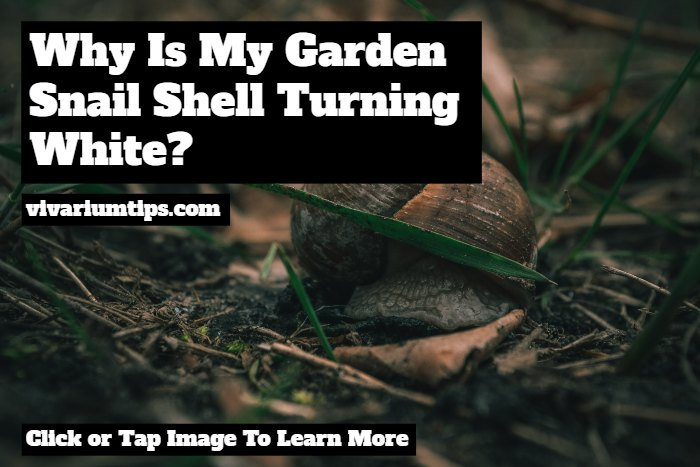 why is my garden snail shell turning white
