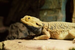 I Left My Bearded Dragons' Lights on All Night! (Solved ...