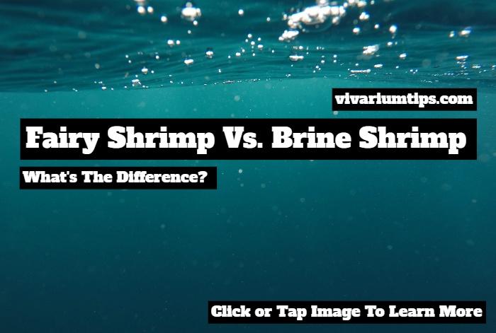 fairy shrimp vs brine shrimp