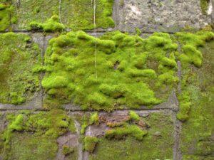 can dead moss regrow