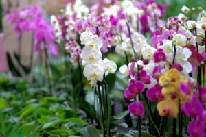 what are orchids used for