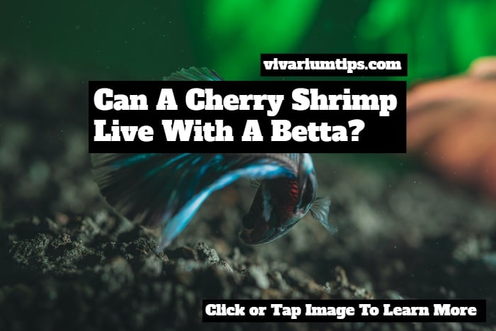 can a cherry shrimp live with a betta