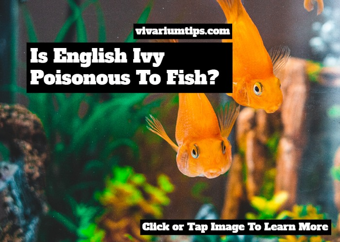 is english ivy poisonous to fish