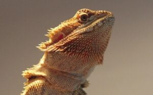 best substrate for bearded dragons