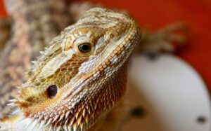 best substrates for bearded dragons