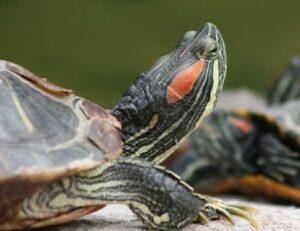 natural environments of turtles