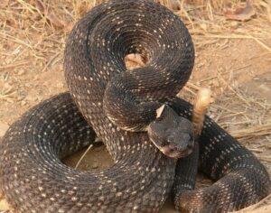 asian pit viper