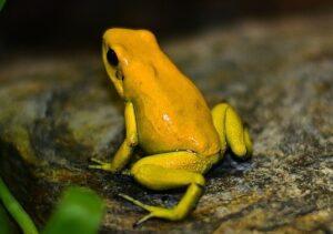 do dart frogs make noise