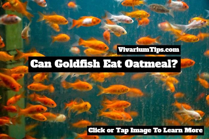 can goldfish eat oatmeal