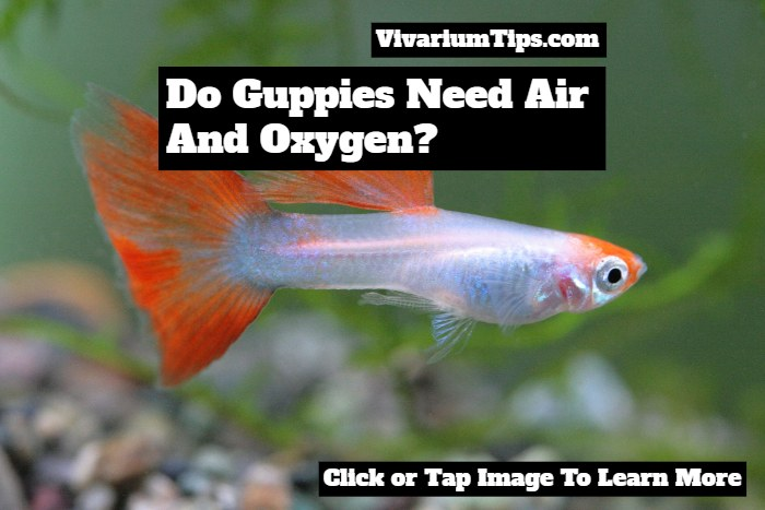 do guppies need air and oxygen